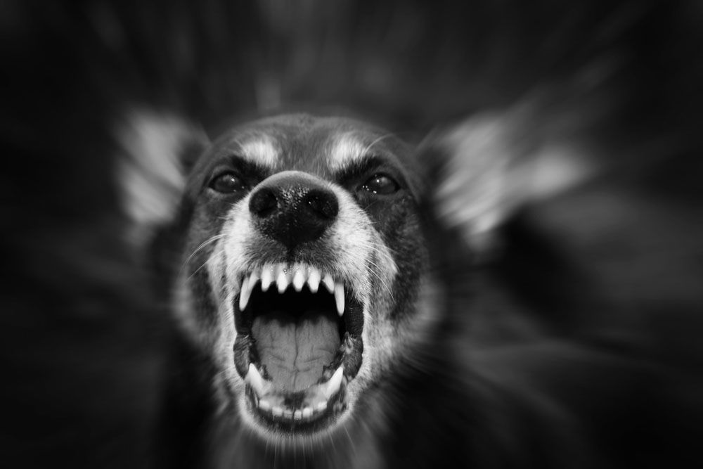 Black and white image of snarling dog