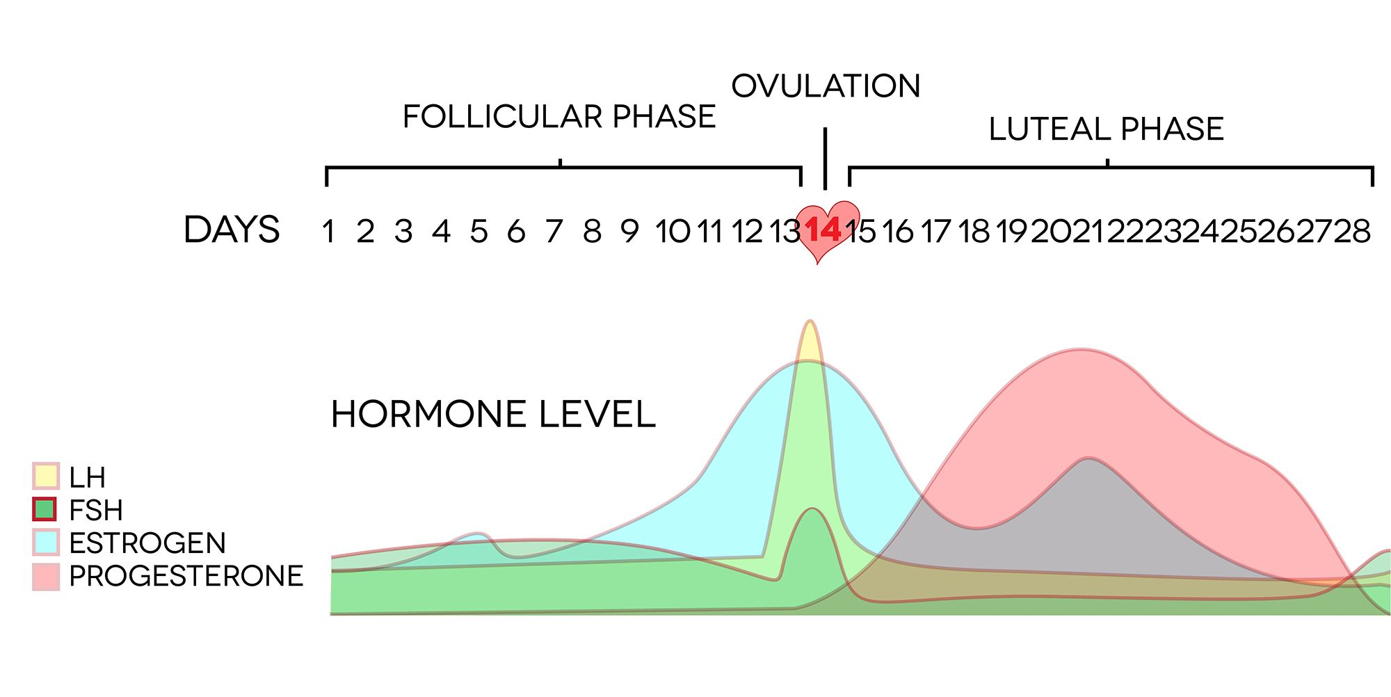 Digital diagram of ovulation cycle