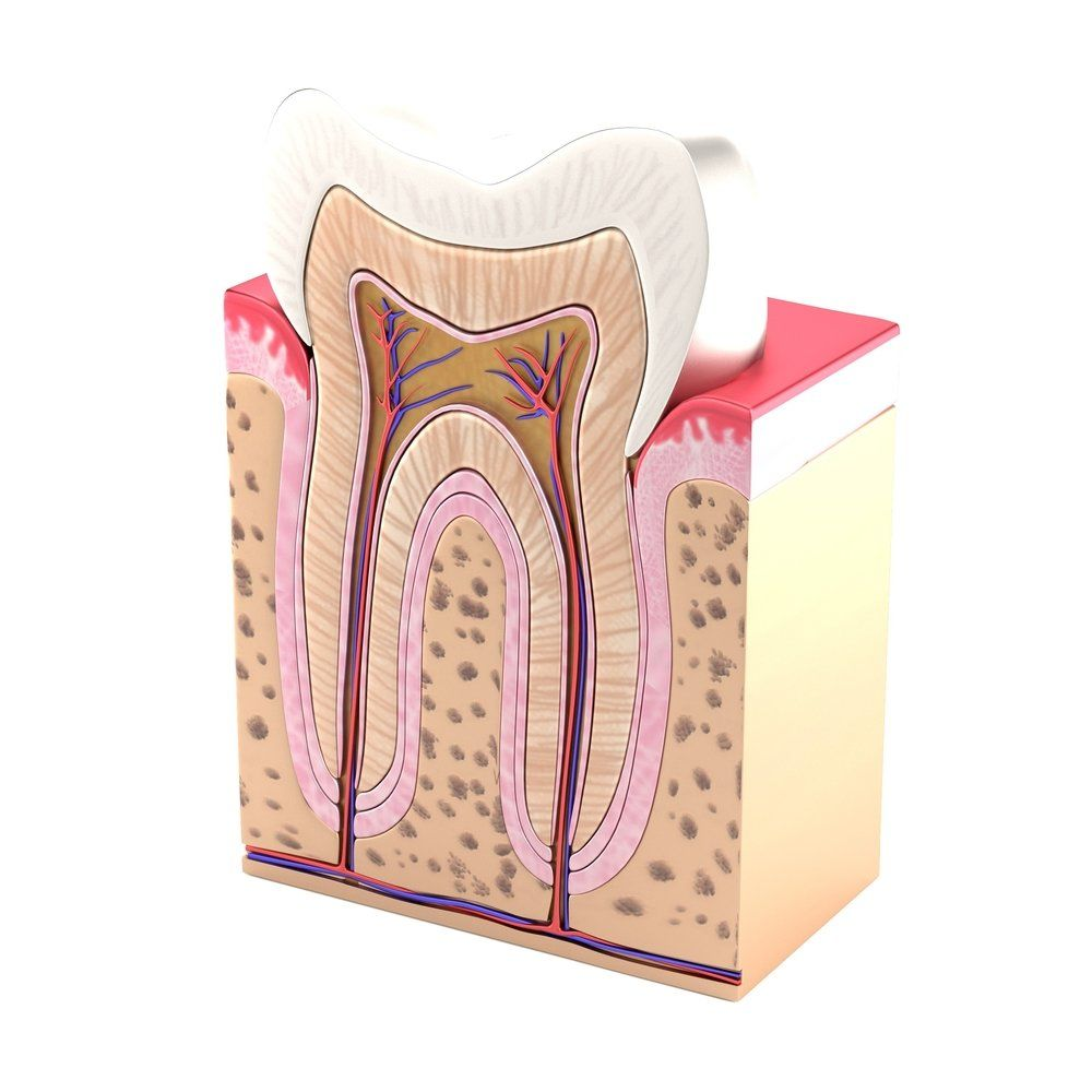 Cross-section illustration of a tooth, including its roots and root canals