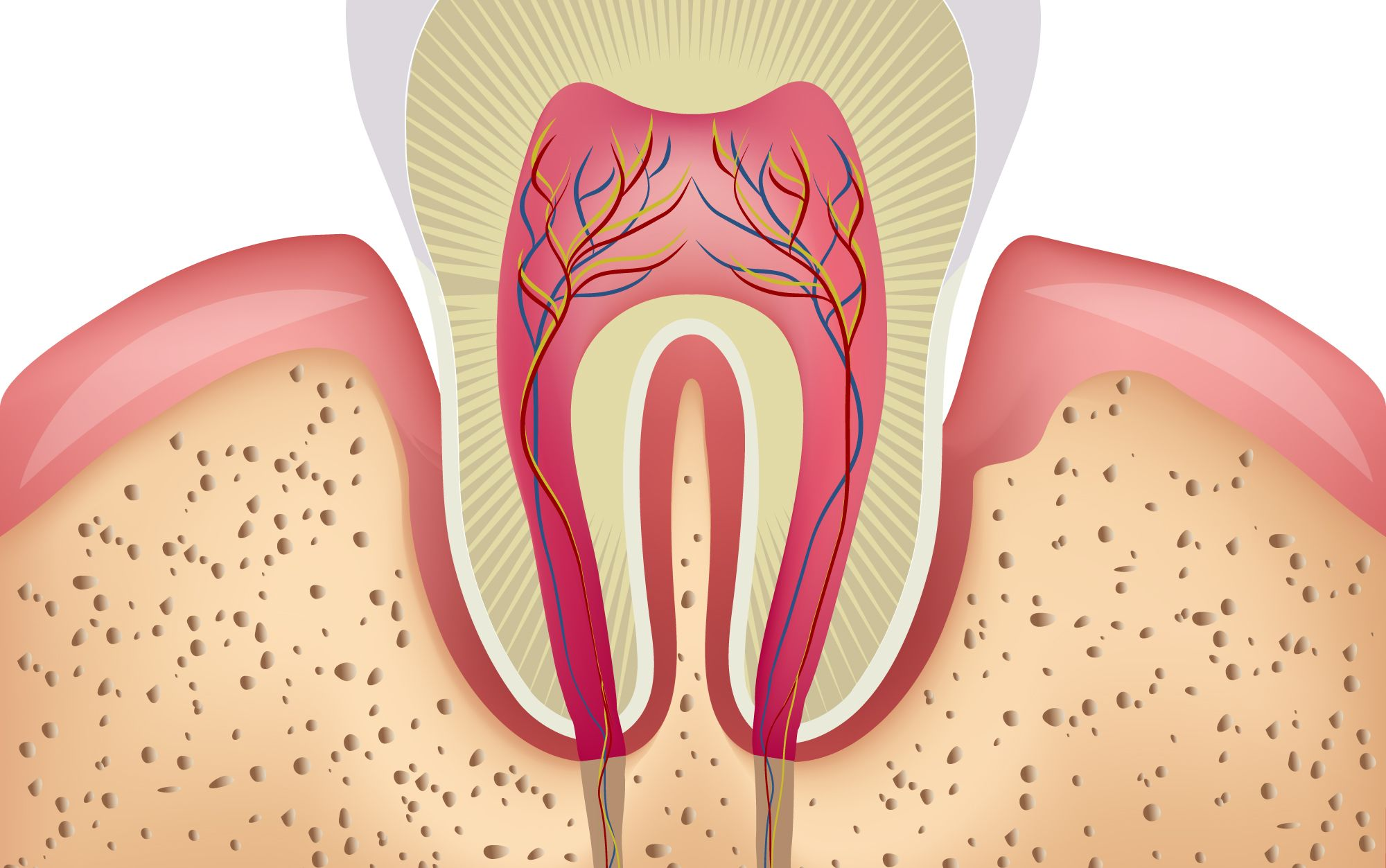 An illustration of the inner structures of a tooth and gums