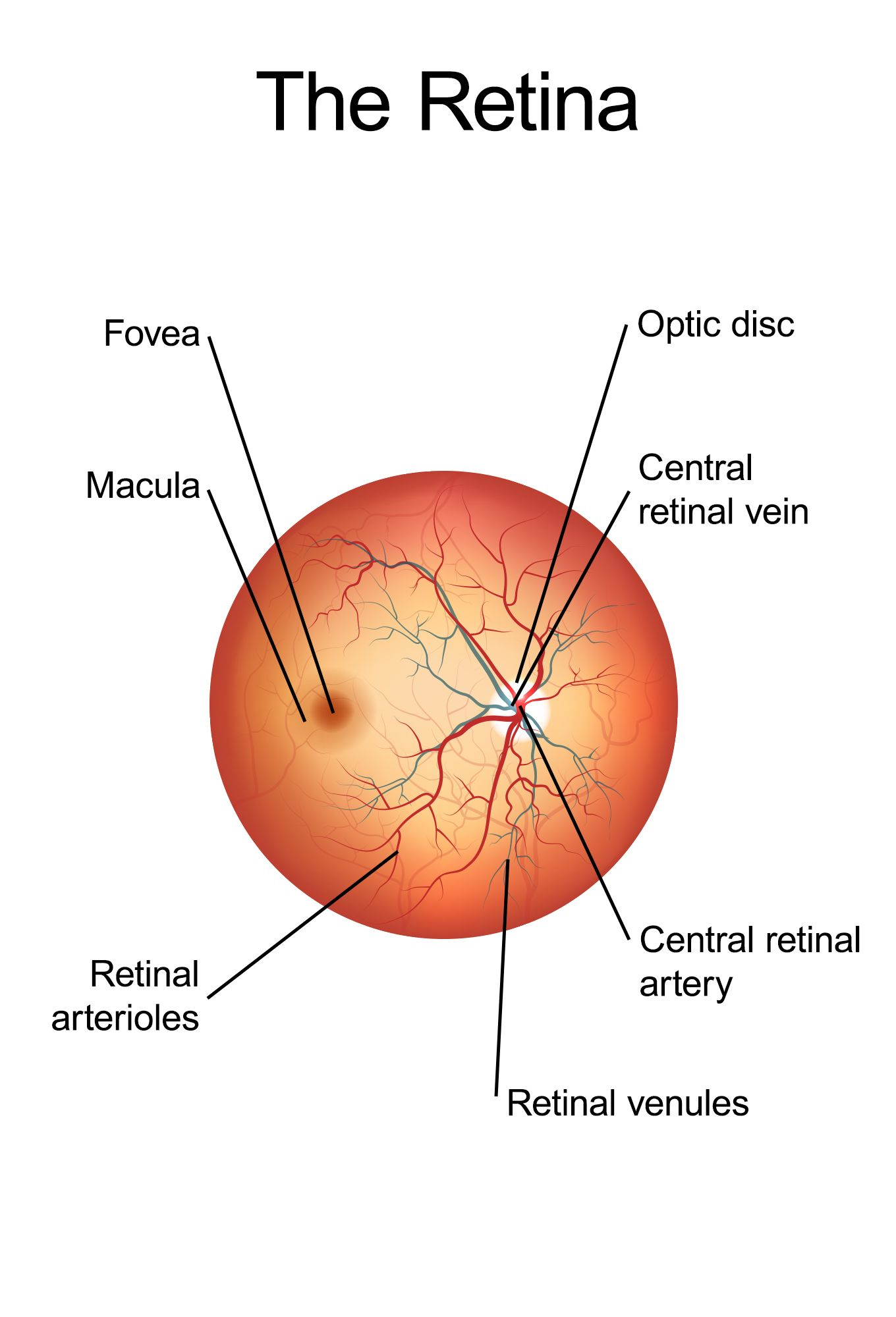 A diagram of the retina