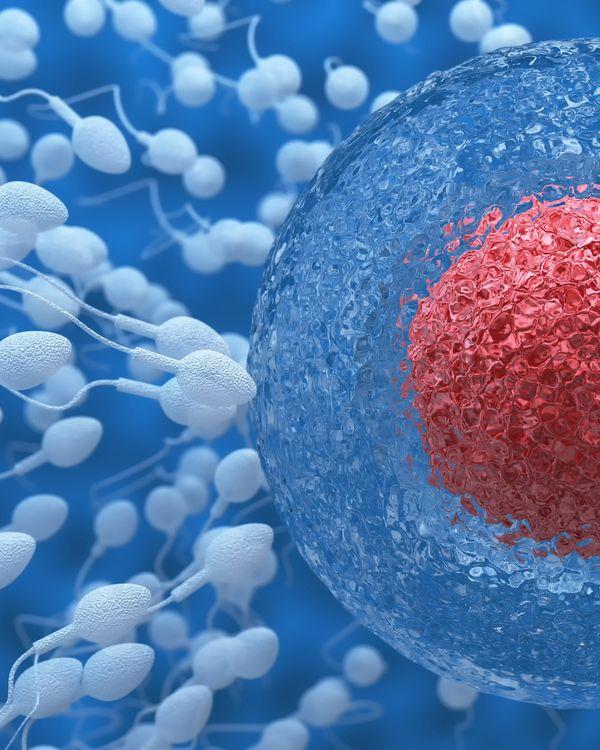 Semen fertilizing an egg