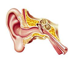 Illustration of the inner ear