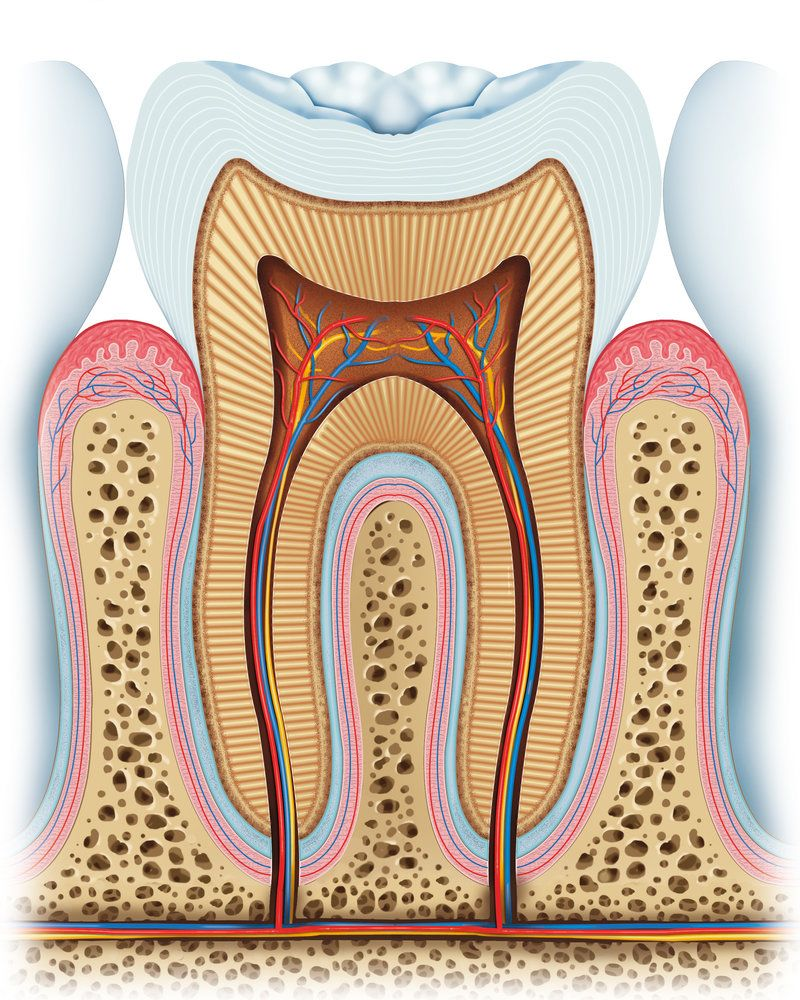 Illustration of the inner parts of a tooth