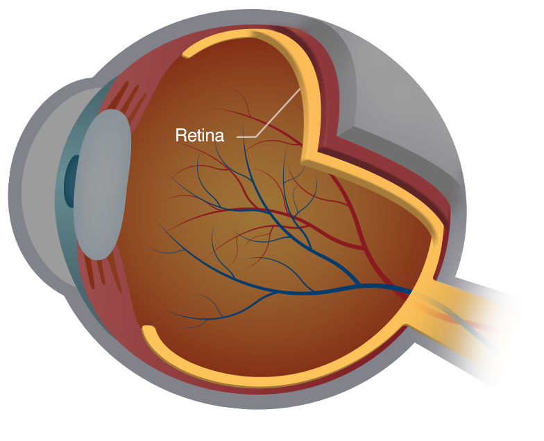 The anatomy of the eye and the retina