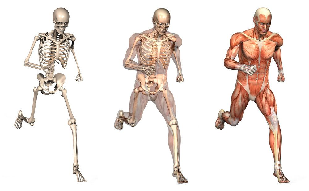Three-panel digital illustration of the skeletal and muscular systems