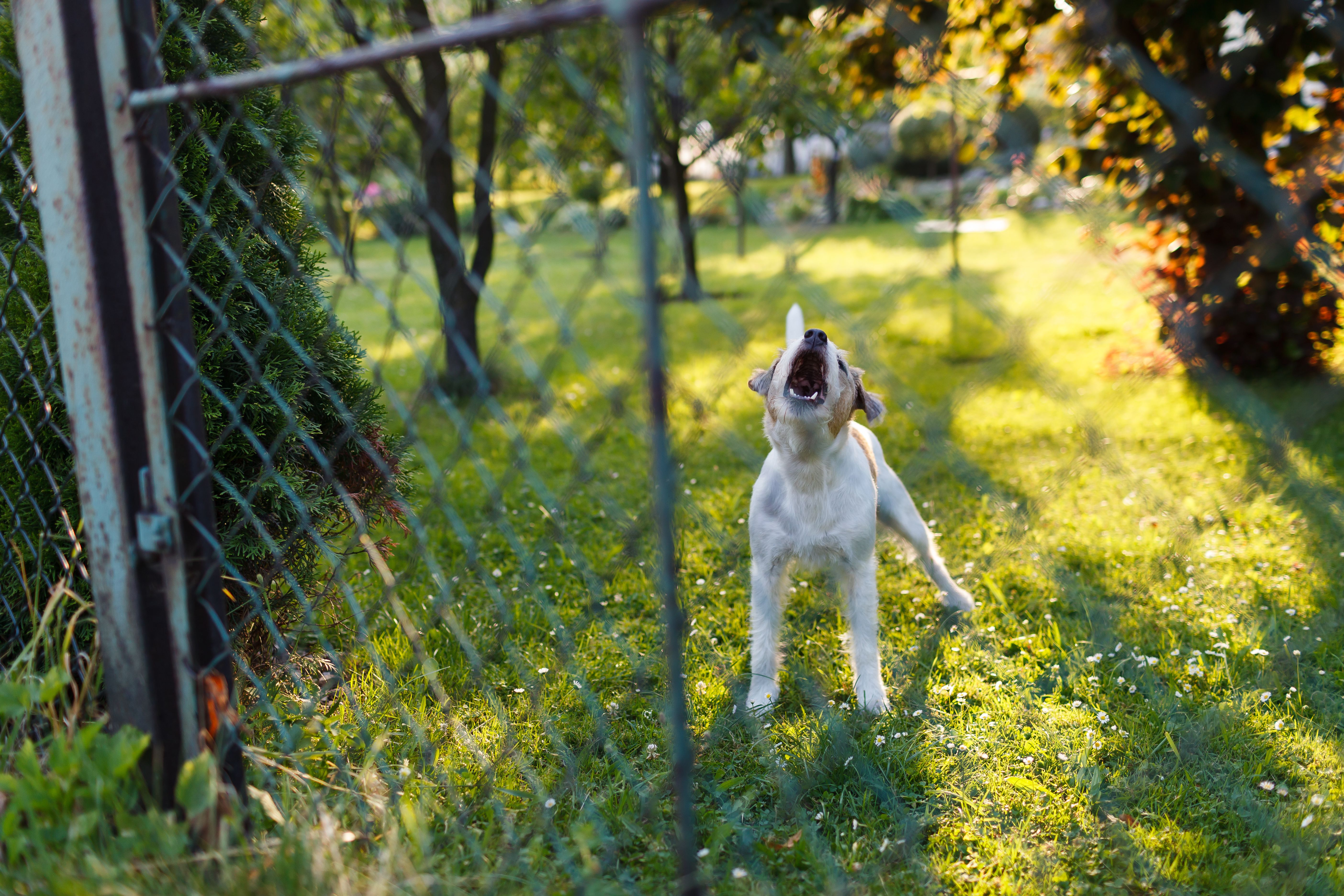 Dog barking behind chain link fence