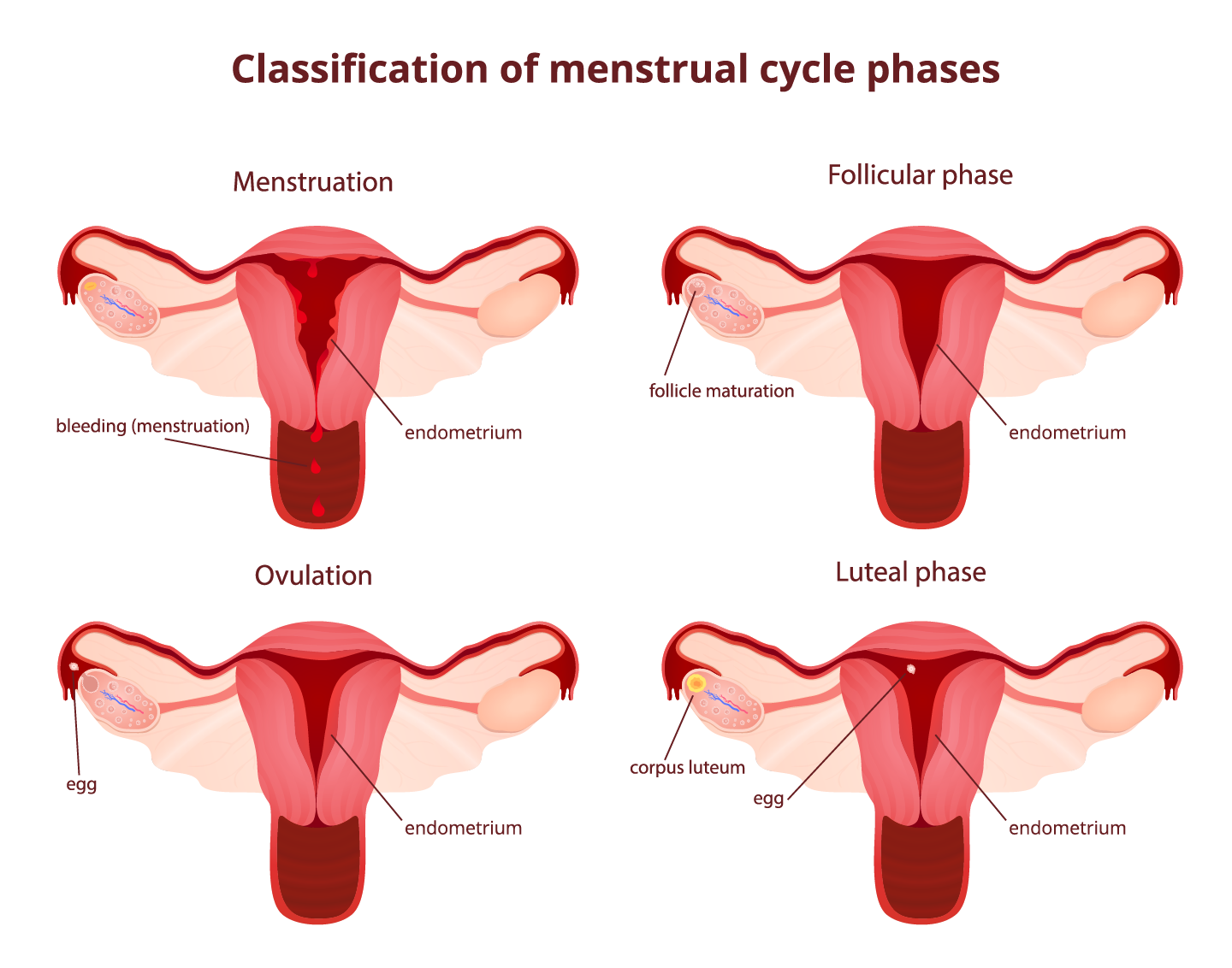 A woman's monthly menstrual cycle